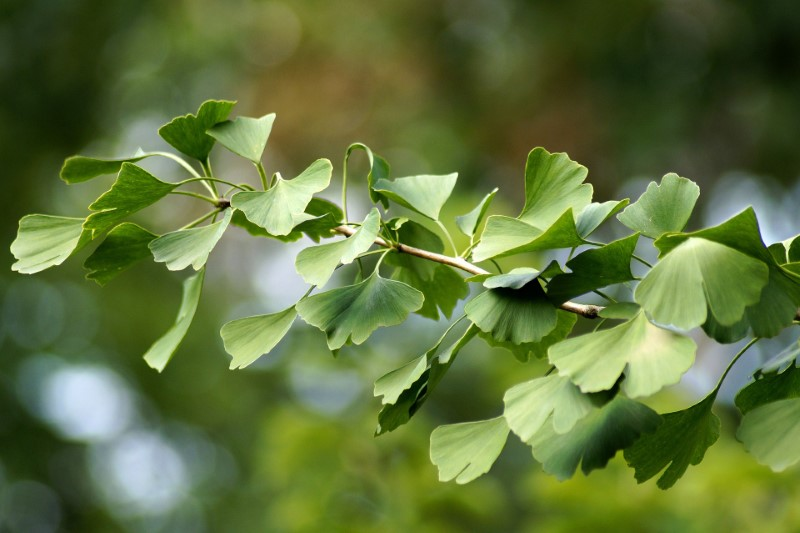 Ginkgo biloba was prominent all over Asia, Europe, and North America 144 million years