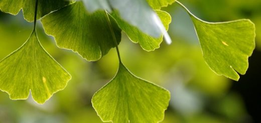 Ginkgo biloba helps maintain memory and mental abilities